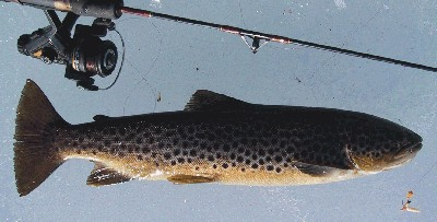 Brown Trout April 2003