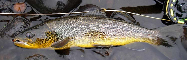 Brown trout Trysil